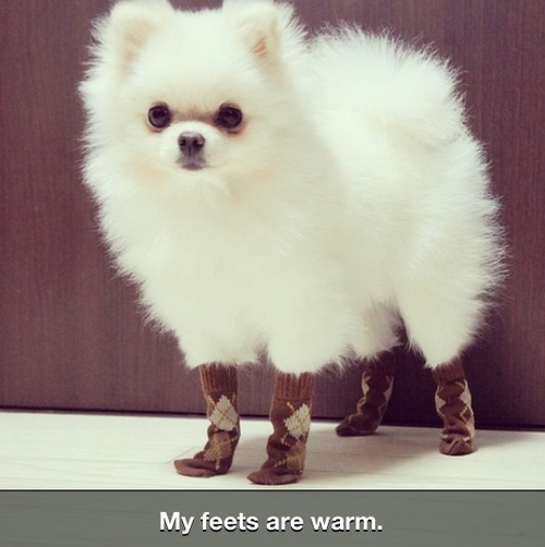 Cute Powder White Dog in Tiny Boots - Pets - Fa